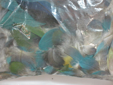 Blue and Gold Macaw chest feathers (blue)